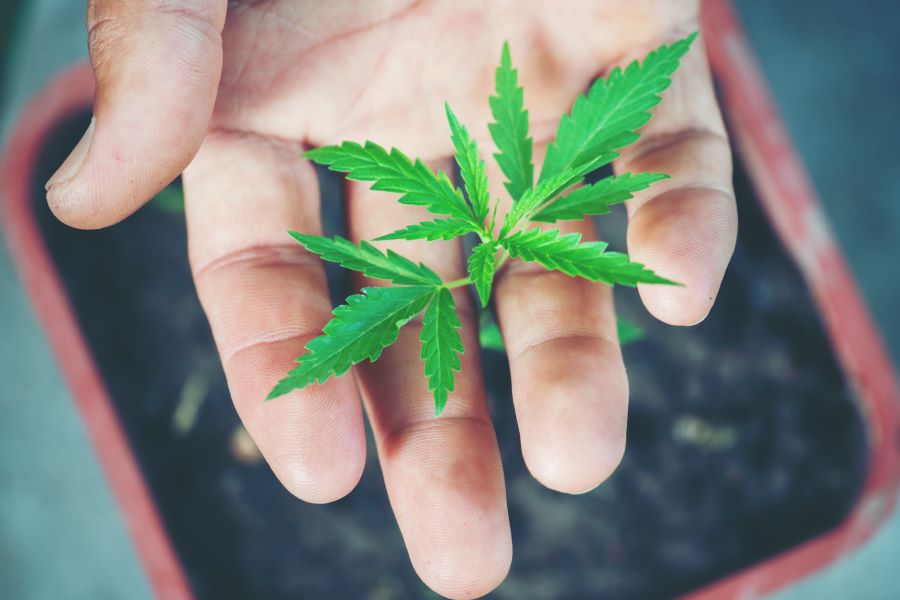 Acquistare cannabis legale si può! Ecco dove!